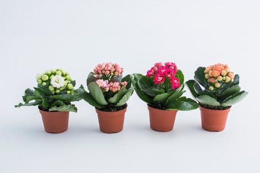 Four flowering succulents in pots