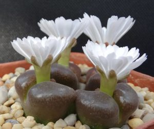 grow Split Rock Plant flowering succulent