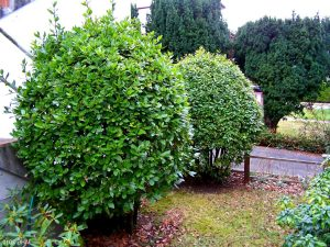 Two shaped Bay Trees