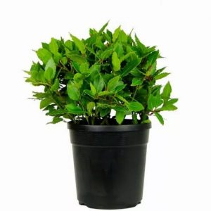 Bay Trees potted in container