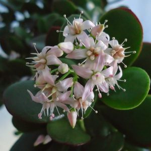20 Pretty Flowering Succulents to Grow Indoors & Outdoors 3