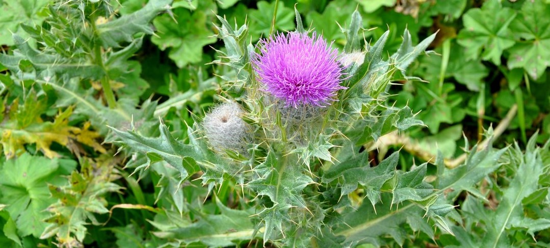How to Get Rid of Thistles Permanently