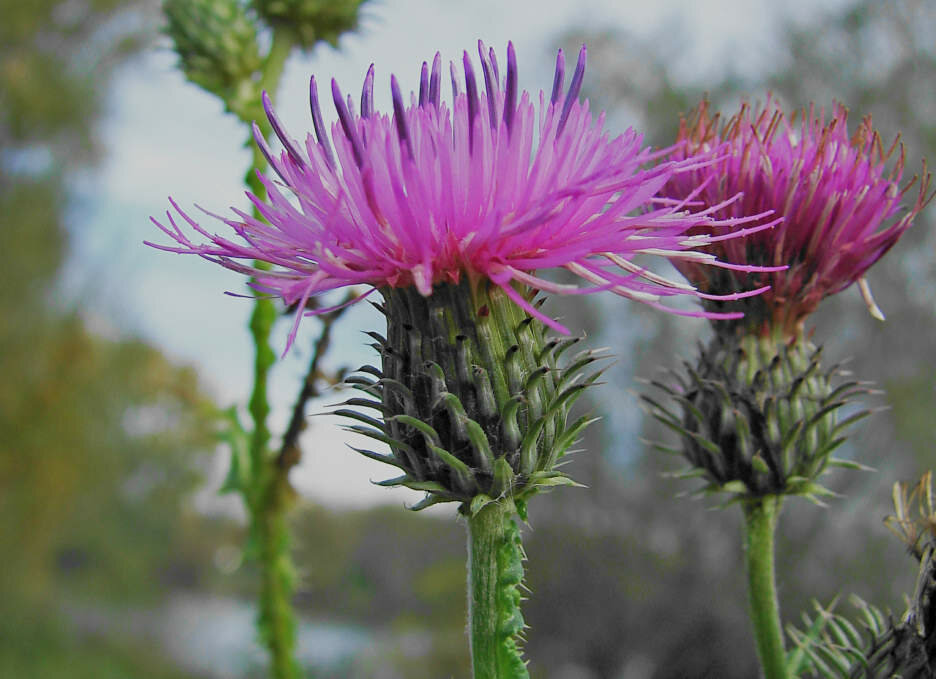Get Rid of Thistle