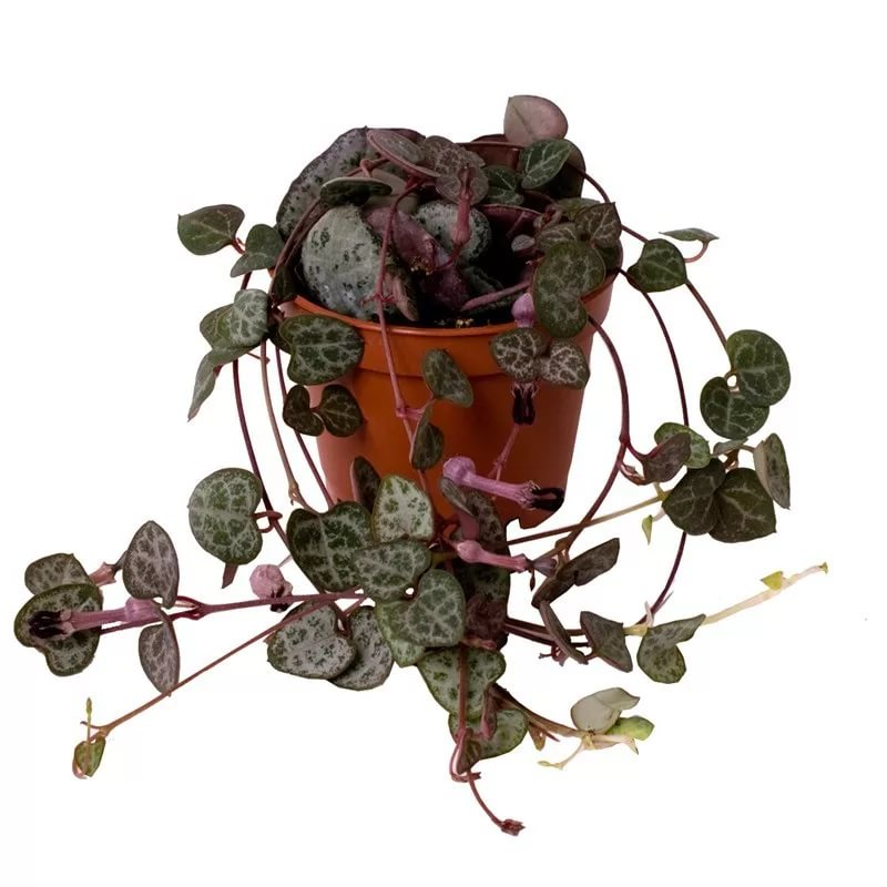 Rosary Plant (String of Hearts): Care & Growing Guide 5