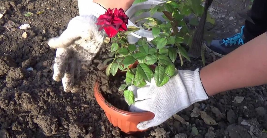 How to Transplant Roses