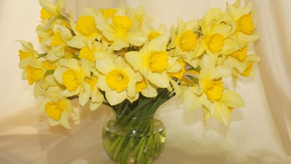 How to Plant Daffodil Bulbs safely