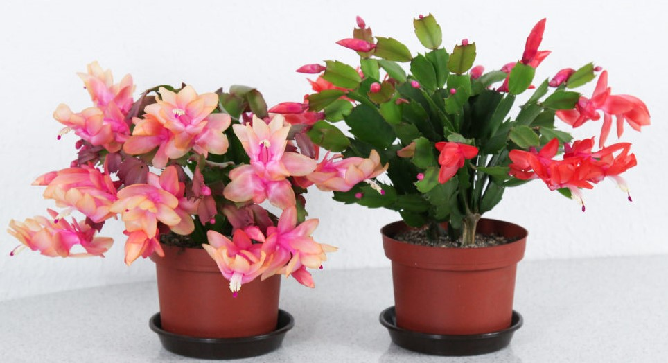 Your Guide To Repotting Christmas Cactus