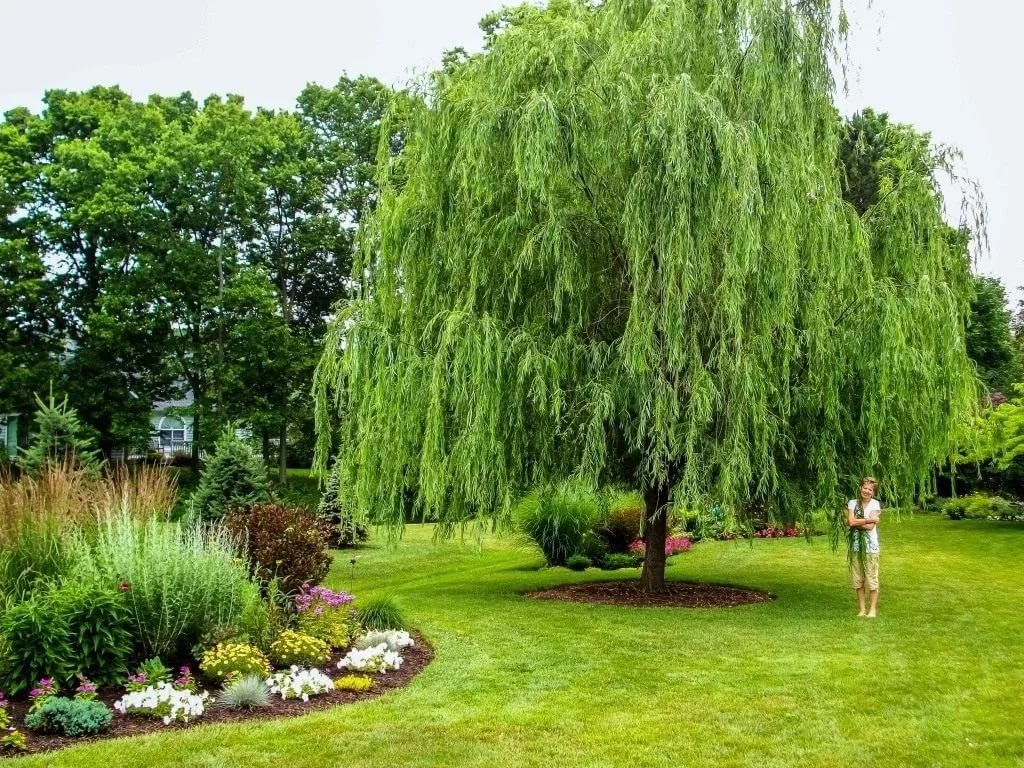 planting Curly Willow Tree