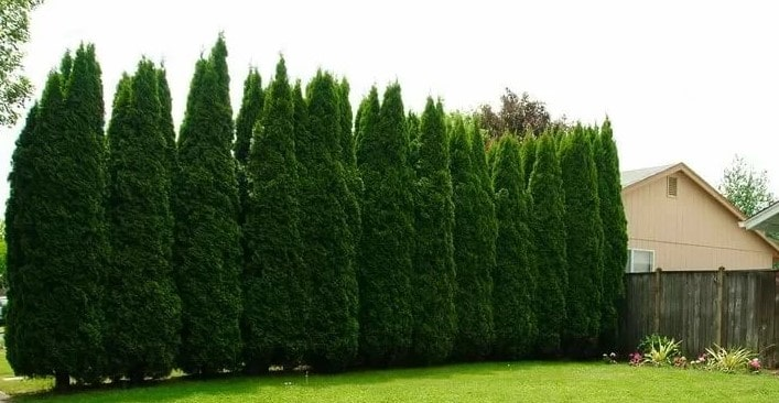 The Ultimate Guide To Planting Arborvitae Tree