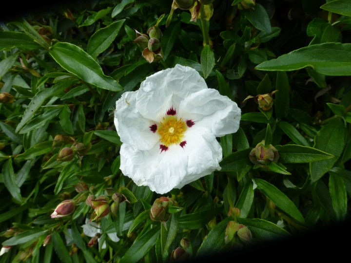Rock Rose Plant care guide