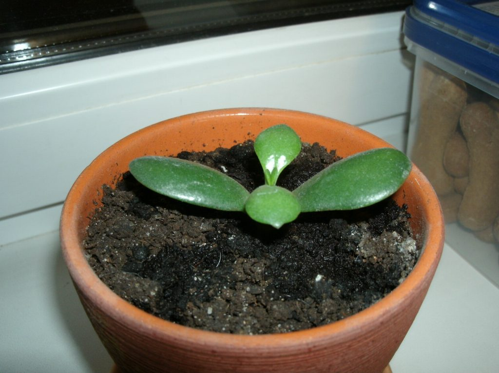 how to propagate jade plant