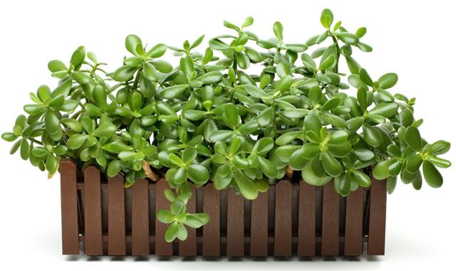How to Propagate Jade Plant in 2 Ways