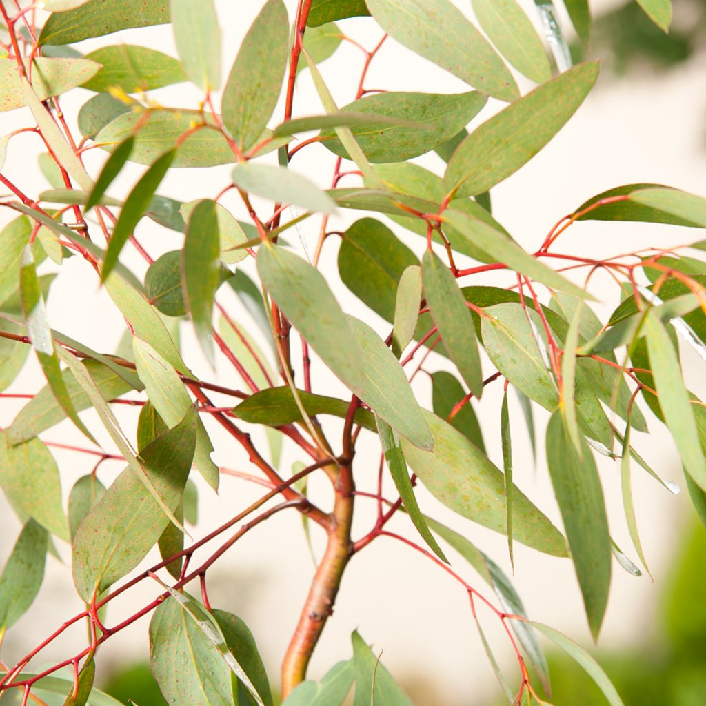 tips Growing Eucalyptus