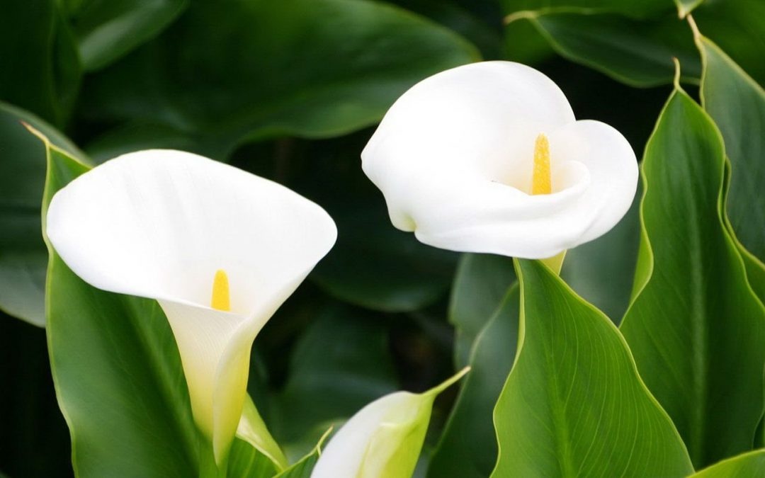 How To Grow Calla Lilies In Easy Steps