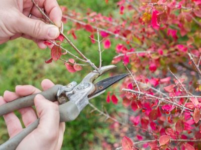 The Full Guide To Pruning Burning Bushes