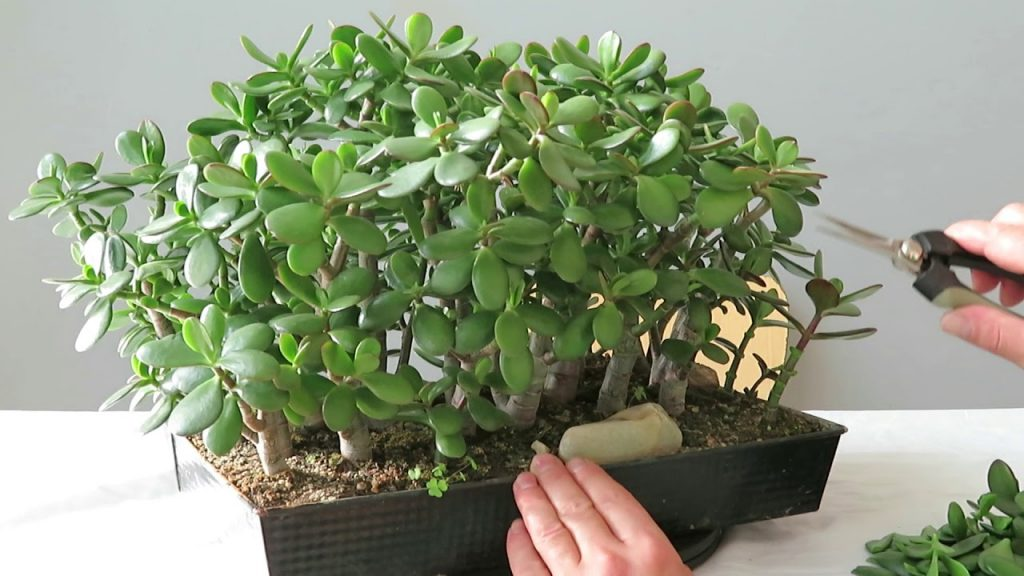 How to Propagate Jade Plant in 2 Ways 2
