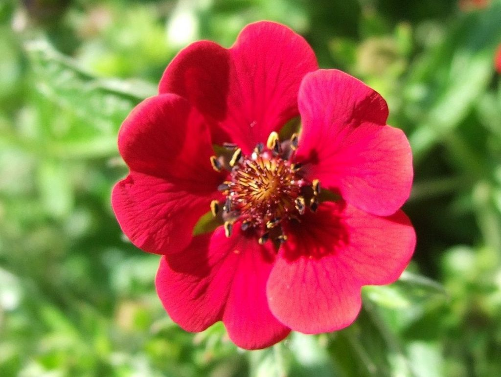 Rose campion - Lychnis coronaria: The In-Depth Planting & Care Guide 4