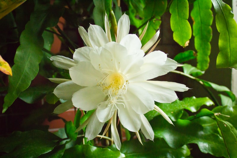 Epiphyllum Orchid Cactus : The Advanced Care Guide 3