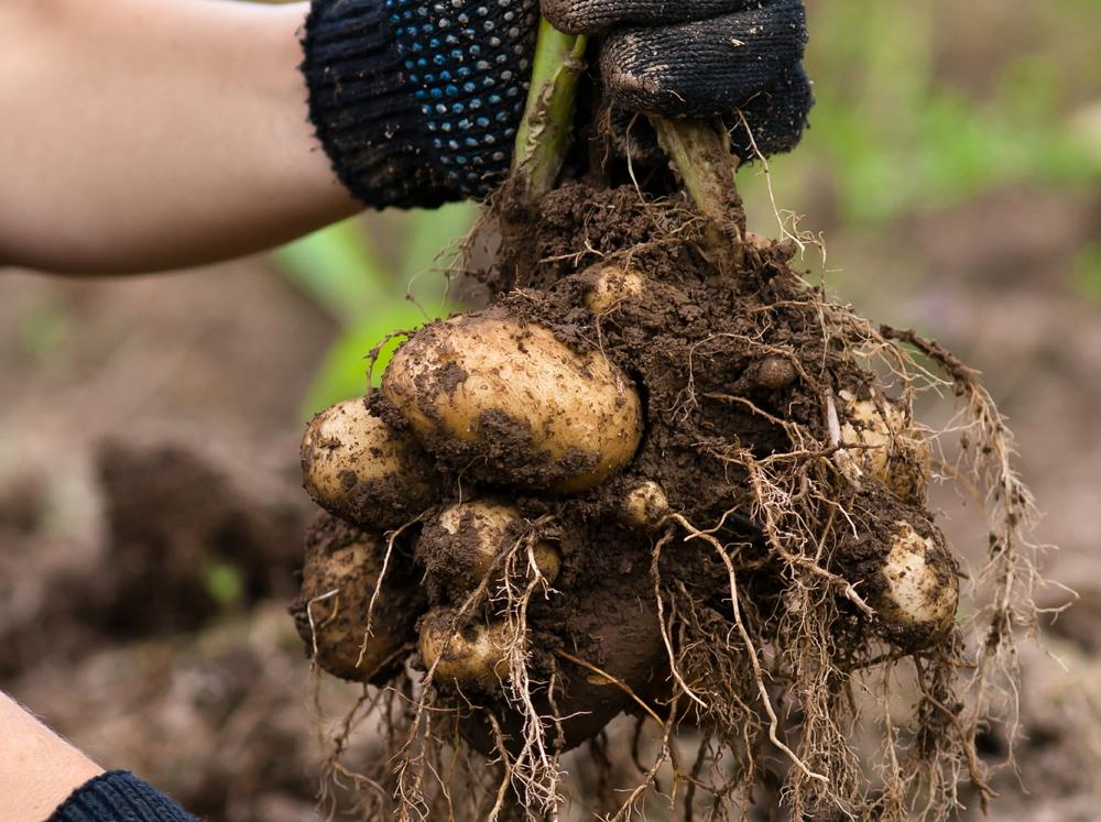 How Long Does It Take To Grow Potatoes From Planting To Harvest 4