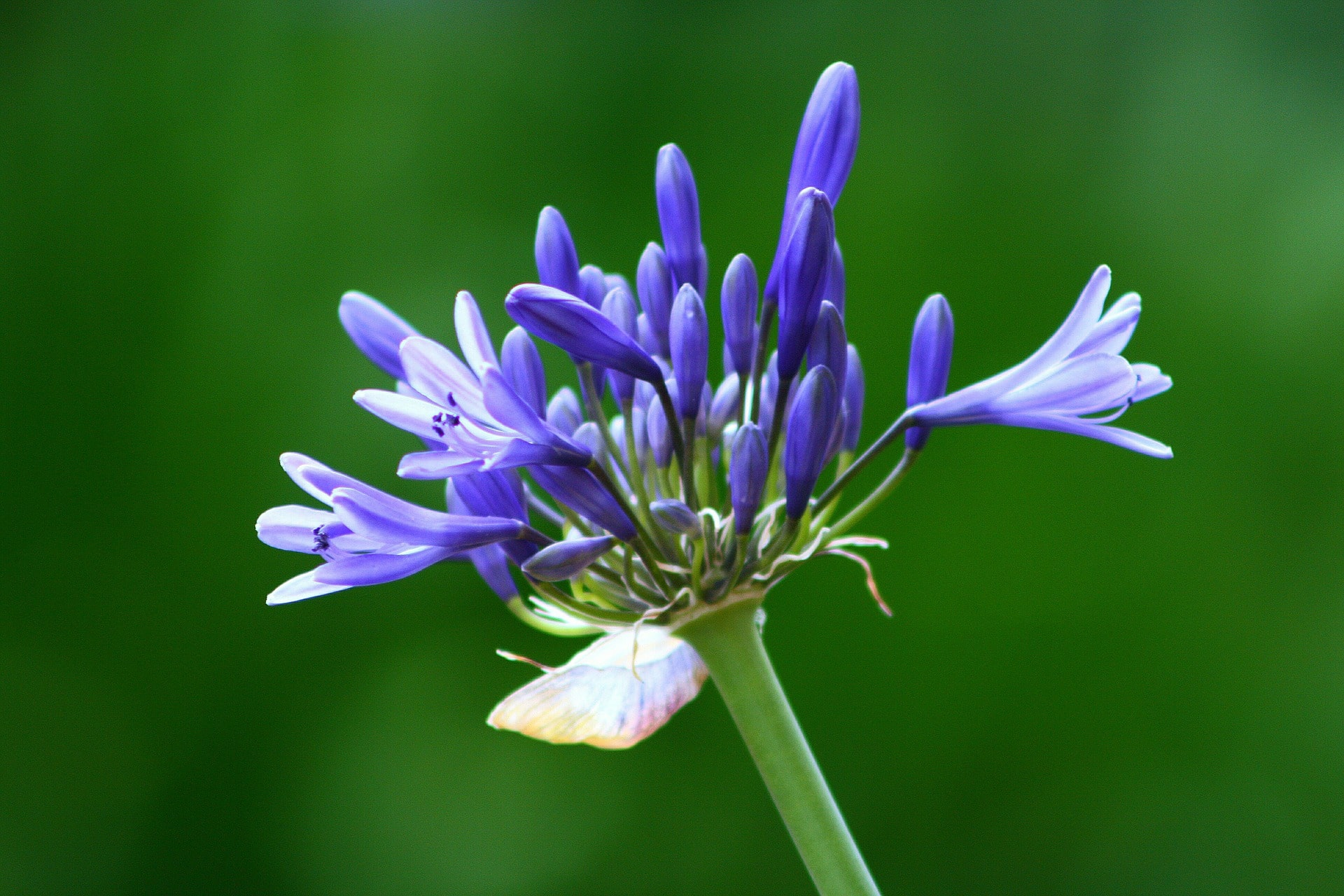 Agapanthus Plant Lily of the Nile