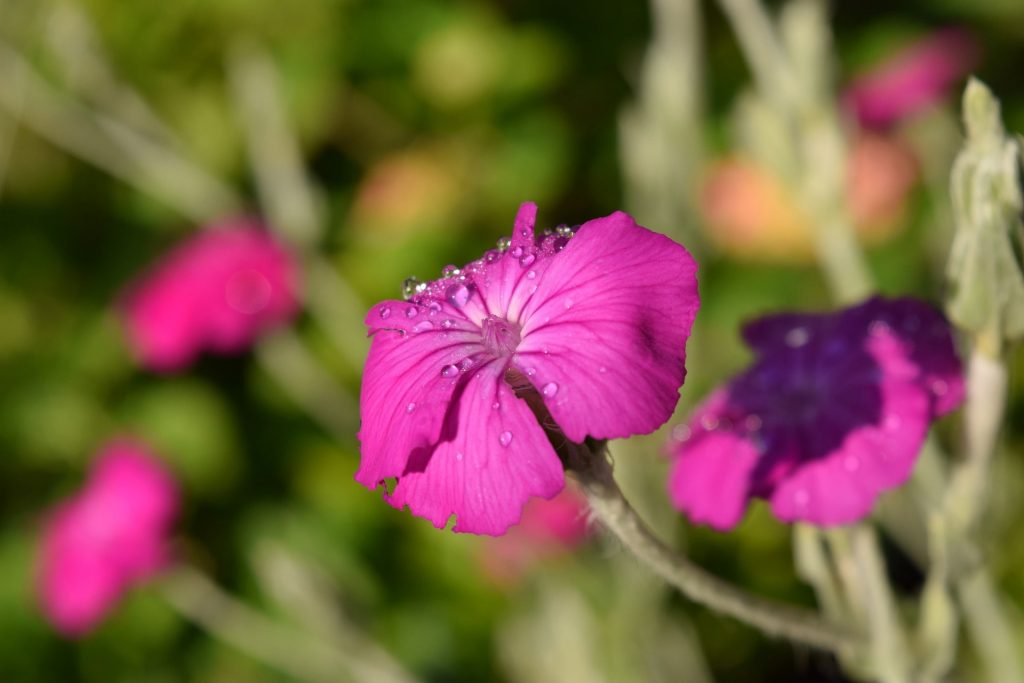 Rose campion - Lychnis coronaria: The In-Depth Planting & Care Guide 1