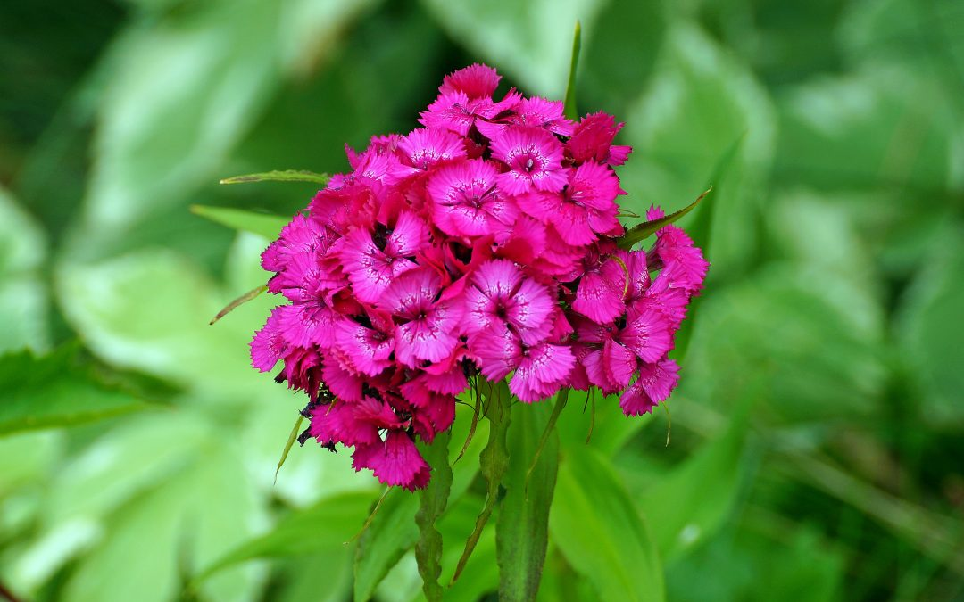 Rose campion – Lychnis coronaria: The In-Depth Planting & Care Guide
