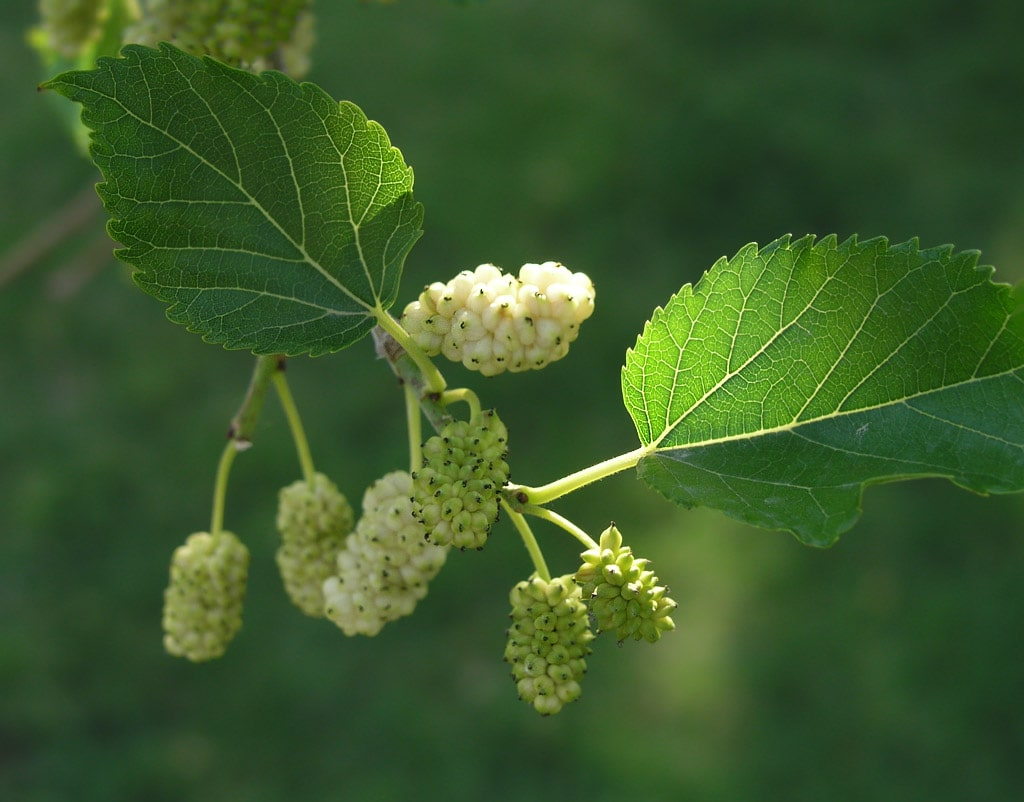White Mulberry Tree: Grow & Care for Mulberry Trees 6