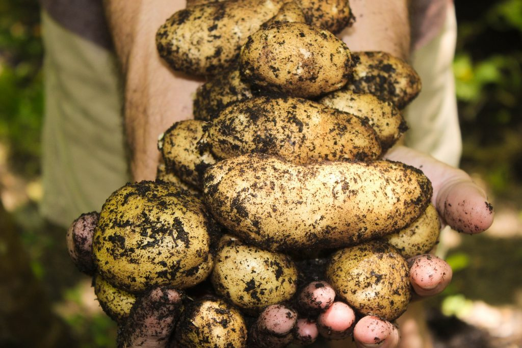 How Long Does It Take To Grow Potatoes From Planting To Harvest 3