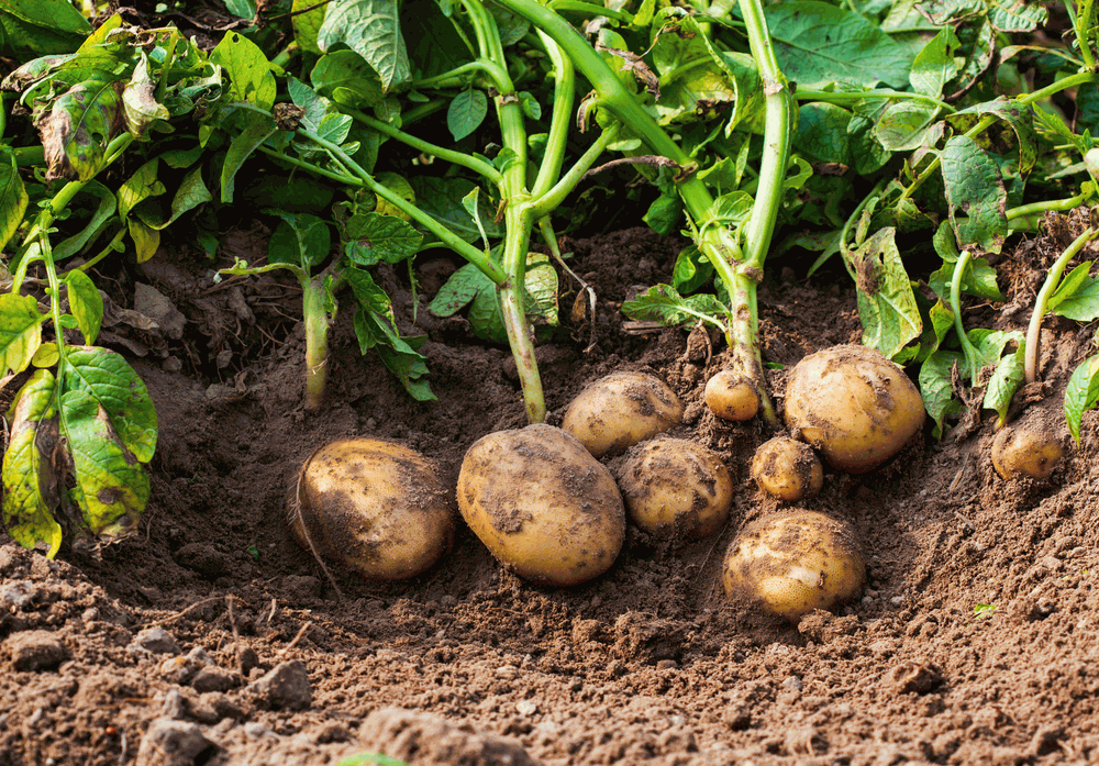 How Long Does It Take To Grow Potatoes From Planting To Harvest 7