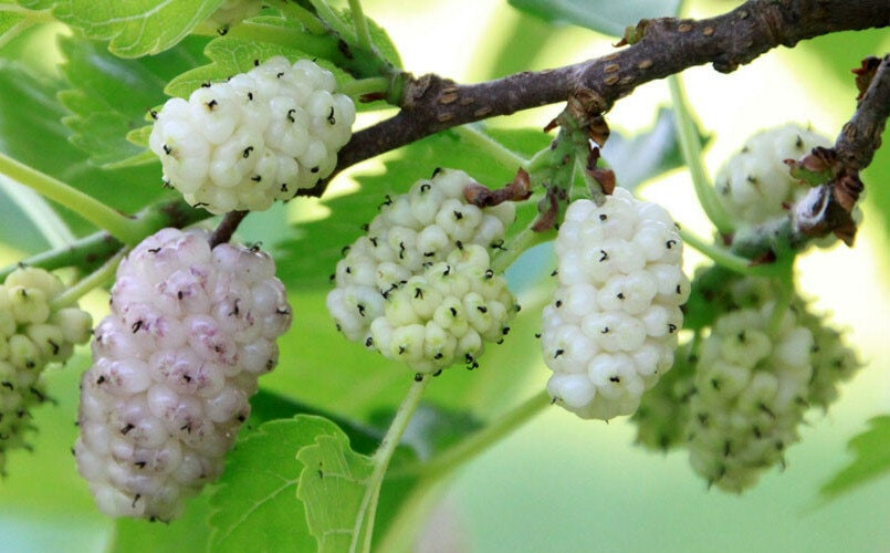 White Mulberry Tree: Grow & Care for Mulberry Trees 14