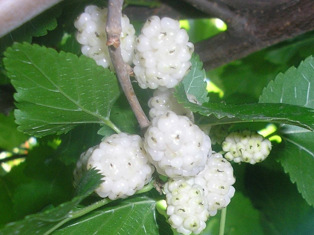 White Mulberry Tree: Grow & Care for Mulberry Trees 9