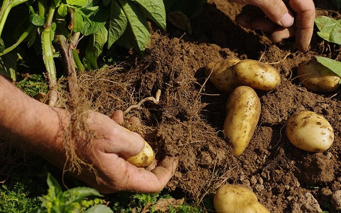 How Long Does It Take To Grow Potatoes From Planting To Harvest 6