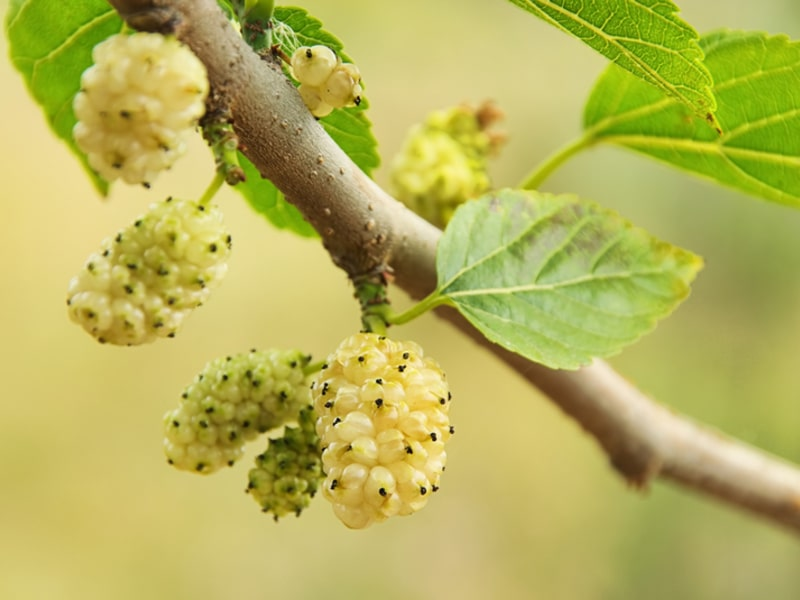 White Mulberry Tree: Grow & Care for Mulberry Trees 12