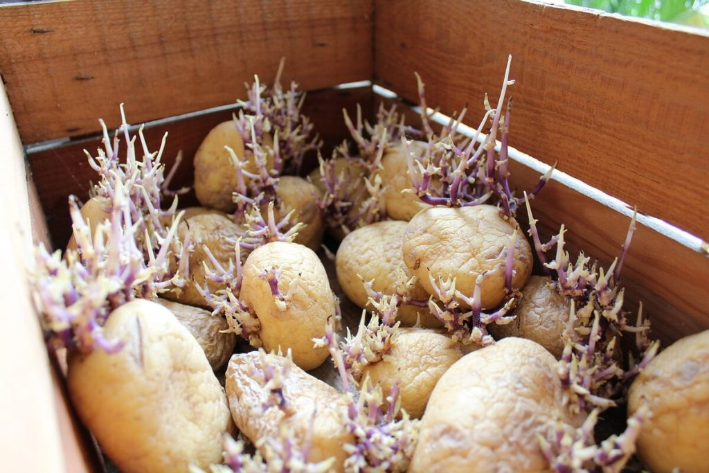 Sprout Potatoes Indoors