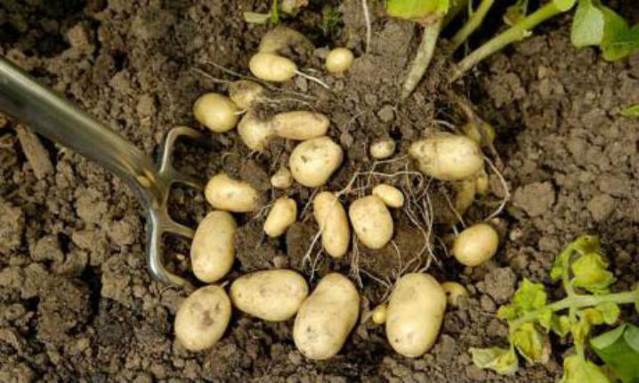 How Long Does It Take To Grow Potatoes From Planting To Harvest 5