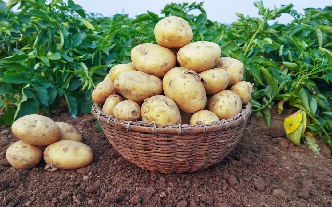 How Long Does It Take To Grow Potatoes From Planting To Harvest