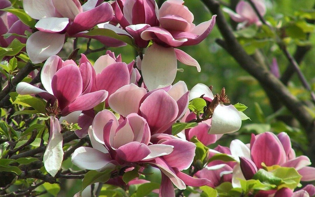 Tulip magnolia tree: Full Care and Propagation Guide